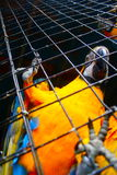 Parrot Hello. Parrot in St Thomas saying Hello Royalty Free Stock Images