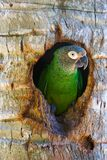 Parrot in the hollow of a tree