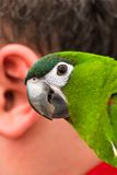 Parrot and the human ear stock photo