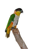 Parrot isolated Stock Image