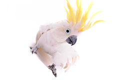 Parrot isolated on the white background Stock Image