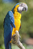 Parrot on its perch Royalty Free Stock Photo