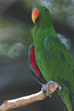 Parrot on its perch Royalty Free Stock Images