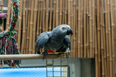 Parrot Jaco sits on a cage Stock Images