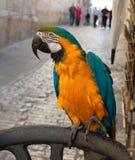 Parrot in Jerusalem. Stock Images
