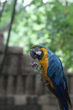 Parrot Jungle. Blue and Gold Macaw perched while investigating a leaf Stock Image
