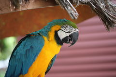 Parrot at Jungle Island, Miami Beach, Florida Royalty Free Stock Photography