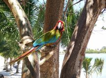 Parrot. At Jungle Island in Miami, FLorida stock photography