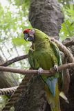 Parrot in Jungle Side. Colorful Parrot on branch in tropical jungle Royalty Free Stock Image