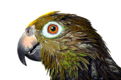 Parrot just took a  bath Royalty Free Stock Photography