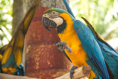 Parrot. Kakadu Blue Bird Nature Domestic Wild Wings Feather Beautiful Tropical Exotics Couple Stock Photo