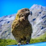 Parrot Kea. Arthurs Pass National Park New Zealand Royalty Free Stock Photos