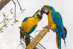 Parrot kissing in love royalty free stock photo