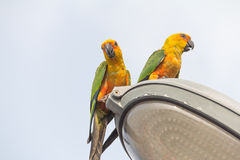 Parrot on lamps Royalty Free Stock Photo