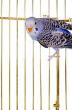 Parrot on a lattice cage Royalty Free Stock Photography