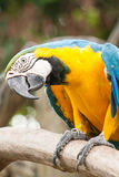 A parrot. Lay on the stick Stock Photo