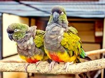 Parrot les couples Photographie stock libre de droits