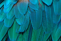Parrot-like multicoloured,� blue feathers. Detail of a feather parrot Blue-and-yellow. Parrot-like multicoloured,� blue feathers Royalty Free Stock Photo