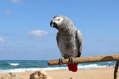Parrot likes to be photographed. Parrot lives on the beach, is able to talk and likes to be photographed Stock Images