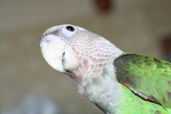 Parrot looking. The parrot looking at you Royalty Free Stock Photos