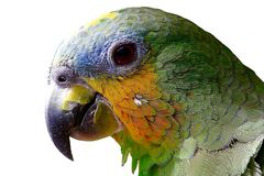 Parrot looking curious royalty free stock images