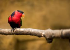 Parrot Lorius lory sits on a branch and watches Royalty Free Stock Photography