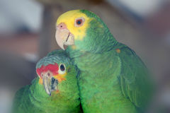 Parrot Love Birds Royalty Free Stock Photos