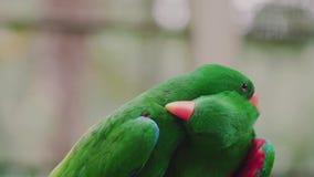 Parrot love, two eclectus parrots. Two eclectus parrots stock video