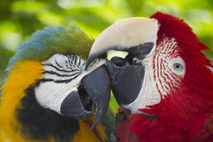 Parrot Love Stock Images