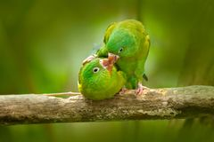 Parrot love. Yellow-crowned Amazon, Amazona ochrocephala auropalliata, pair of green parrot, sitting on the branch, courtship love. Costa Rica Stock Photo