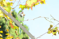 Parrot Lunch Royalty Free Stock Photo