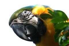 Parrot Macaw. Macaw parrot isolated with white background Royalty Free Stock Photo