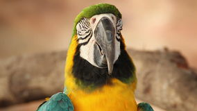 Parrot macaw blue and gold, closeup stock footage