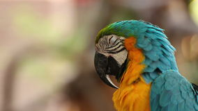 Parrot macaw blue and gold sleeping, closeup stock video