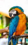 Parrot macaw blue and orange. Royalty Free Stock Photography