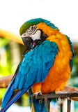 Parrot macaw blue and orange. Stock Images