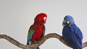 Parrot, macaw blue with Red Macaw stock video footage