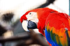 Parrot macaw. Close up colorful parrot macaw Stock Photography
