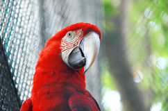 Parrot Macaw. Close up colorful parrot macaw in cage at zoo Royalty Free Stock Images