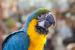 Parrot macaw closeup Royalty Free Stock Images