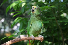 Parrot or macaw with green and yellow feathers Stock Photography
