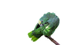 Parrot macaw with green and yellow feathers Royalty Free Stock Photos