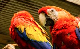 Red Parrot / Macaw in Macaw Mountain Bird Park Stock Images