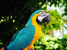 Parrot // Macaw. Parrots, also known as psittacines, bird in the garden Stock Photo