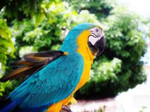 Parrot // Macaw. Parrots, also known as psittacines, bird in the garden Royalty Free Stock Photos