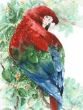Parrot macaw red green blue bird sitting on the tree watercolor painting illustration isolated on white background Royalty Free Stock Photos