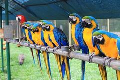 Parrot macaw Royalty Free Stock Image