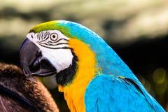 Parrot macaws ( Ara ararauna) Royalty Free Stock Image