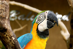 Parrot maccaw. Cute parrot on balinese zoo sitting on branch Royalty Free Stock Photo