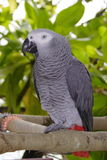A parrot - Maldives Royalty Free Stock Photography